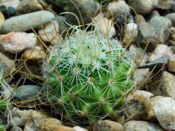 Echinofossulocactus phyllacanthus CSD 161