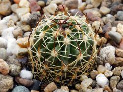 Echinofossulocactus phyllacanthus n of SLP
