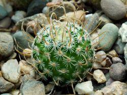 Echinofossulocactus phyllacanthus SB 2