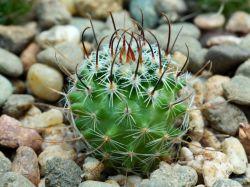 Echinofossulocactus phyllacanthus v. violaciflorus SB 107