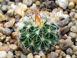 Echinofossulocactus sp. MMR La Hincada,SLP