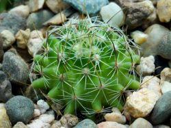 Echinofossulocactus sp. MMR La Muralla, SLP