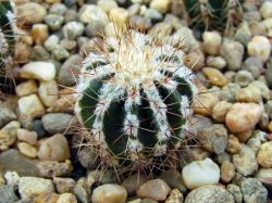 Echinopsis 'Haku-Yo'