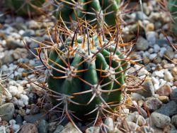 Echinopsis leucantha HNS 41