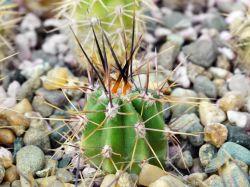 Echinopsis leucantha VG 1142