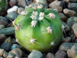 Echinopsis obrepanda R 293