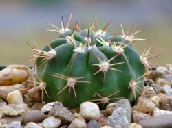 Echinopsis obrepanda VZ 129