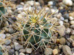 Ferocactus chrysacanthus L 010