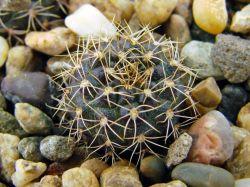 Frailea caveraensis HU 298