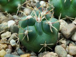 Glandulicactus mathssonii, Mineral Pozos Gto