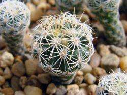 Gymnocactus horripilus SB 168