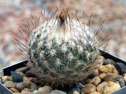 Gymnocactus saueri v. septentrionalis PP 1363