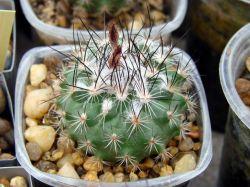Gymnocactus viereckii L 1159