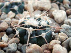 Gymnocalycium bicolor P 116