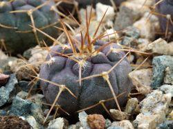 Gymnocalycium borthii ssp. nogolense VG 411/1