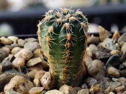 Gymnocalycium bruchii ssp. matznetteri P 214