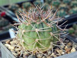 Gymnocalycium castellanosii VG 244