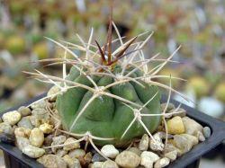 Gymnocalycium catamarcense ssp. acinacispinum VG 189
