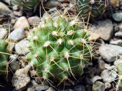 Gymnocalycium marsoneri ssp. matoense VoS 06-288