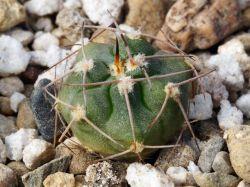 Gymnocalycium rhodantherum VG 1137