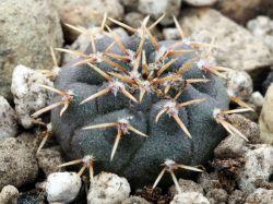 Gymnocalycium stellatum VG 312
