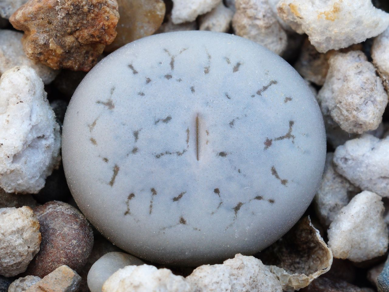 Lithops gracilidelineata C 367
