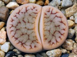 Lithops pseudotruncatella ssp. dendritica C 072