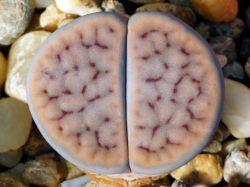 Lithops schwantesii v. rugosa C 247