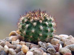Neoporteria krainziana KK 1078