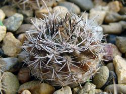 Neoporteria nigrihorrida v. crassispina KK 11