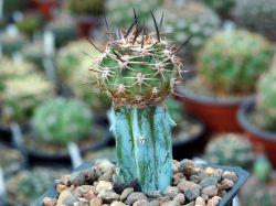 Pyrrhocactus umadeave KLA 76A