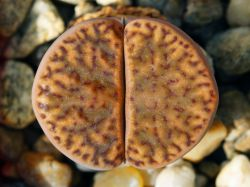 Lithops bromfieldii v. insularis C 043