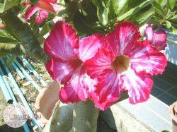 Adenium 'Flower's Flower'