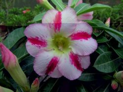 Adenium 'Fragrant Delight'