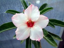 Adenium 'Heirloom'
