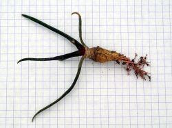 Ariocarpus agavoides RS 602