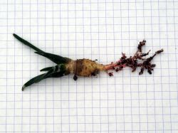 Ariocarpus trigonus VZD 135