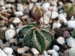 Astrophytum senile PP 457