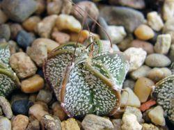 Astrophytum capricorne v. minor P 269