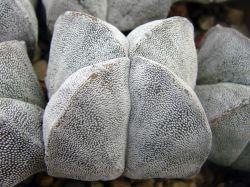 Astrophytum myriostigma v. quadricostatum