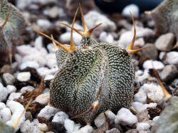 Astrophytum ornatum v. mirbellii