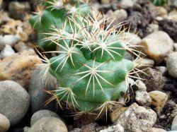 Coryphantha delaetiana RUS 023