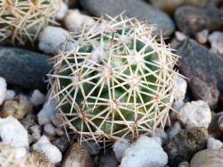 Coryphantha difficilis RUS 028