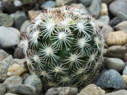 Coryphantha echinoides RUS 409