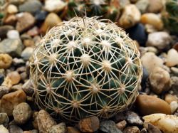 Coryphantha echinus SB 391