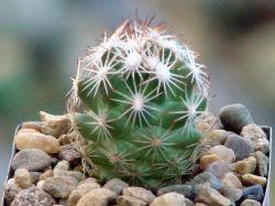 Coryphantha hesterii SB 430
