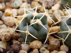 Coryphantha scheeri SB 843