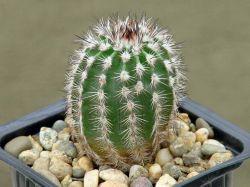 Echinocereus armatus PP 22
