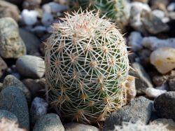 Echinocereus dasyacanthus v. ctenoides MAO 0044