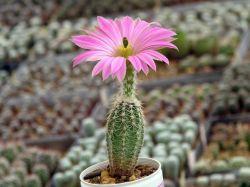 Echinocereus pamanesiorum VM 478